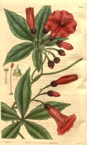 Figured are palmate leaves and deep rose, tubular trumpet-shaped flowers.  Curtis's Botanical Magazine t.3315, 1834.