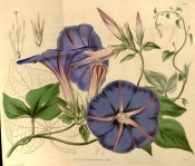 Illustrated are the 3-lobed leaves and purple-blue funnel-shaped flowers.  Curtis's Botanical Magazine t.3928, 1842.