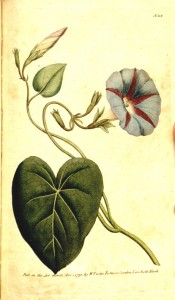 A twining climber with heart-shaped leaves and blue and red trumpet-shaped flower.  Curtis's Botanical Magazine t.113, 1790.