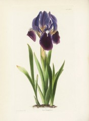Figured are sword-shaped leaves and a flag iris with blue flowers with reddish falls.  Loddiges Botanical Cabinet no.1970, 1833.