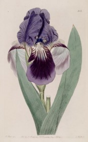 Figured is a bearded iris with deep blue standards and purple falls.  Botanical Register f.818, 1824.