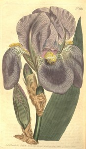 Figured is a bearded iris with pale blue flowers and yellow beard.  Curtis's Botanical Magazine t.685, 1803.