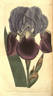 Illustrated is an iris with grey-green leaves and blue flowers with yellow beards.  Curtis's Botanical Magazine t.670, 1803.
