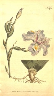 Figured is a root and flowering stem with pale blue and yellow flowers.  Curtis's Botanical Magazine t.373, 1797.