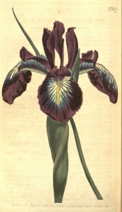 Shown is a beardless iris with narrow leaf and purple flowers with  blue-yellow marks. Curtis's Botanical Magazine t.687, 1803.