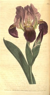 Figured is a bearded iris with pale mauve flowers with purple falls.  Curtis's Botanical Magazine t.669, 1803.