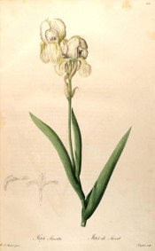 Illustrated is a white bearded iris with blue markings and a yellow beard.  Redouté Les Liliacées pl.306, 1802-15.