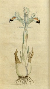 Figured is a bulbous iris with pale blue leaves with darker blue and orange markings.  Curtis's Botanical Magazine t.1, 1786.