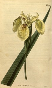 Figured is a beardless iris with yellow flowers with brown markings.  Curtis's Botanical Magazine t.2239, 1821.