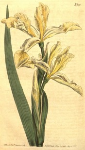 Figured are a sword-shaped leaf and white yellow iris flowers.  Curtis's Botanical Magazine t.1131, 1813.