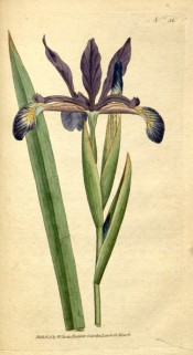 Figured is a non-bearded iris with broad leaves and branched stem bearing blue flowers.  Curtis's Botanical Magazine t.58, 1788.