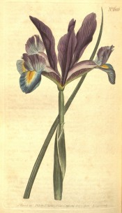 Shown is a beardless iris with narrow leaf, purple standards and blue and yellow falls. Curtis's Botanical Magazine t.686, 1803.
