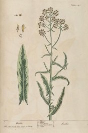Illustrated is flowering stem with leaves and rounded heads of small yellow flowers.  Blackwell pl.246, 1839.