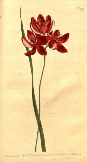 Figured is a narrow leaf and salver-shaped crimson flowers.  Curtis's Botanical Magazine t.594, 1802.