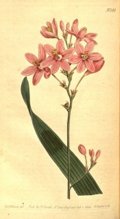Figured is a leaf and panicle of pink flowers with a darker centre.  Curtis's Botanical Magazine t.589, 1802.