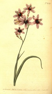 Figured are narrow leaves and pinkish-purple flowers with a dark red centre.  Curtis's Botanical Magazine t. 630/1803.