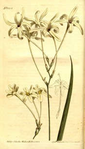 Figured is a loose panicle of very long tubed white flowers with narrow segments.  Curtis's Botanical Magazine t.1502, 1812.