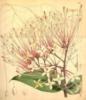 Shown are ovate leaves and corymb of small white to yellow flowers with pink stalks.  Curtis's Botanical Magazine t.4191, 1845.