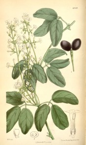 Figured are trifoliate leaves, panicle of small white flowers and purple fruits.  Curtis's Botanical Magazine t.6349/1878.