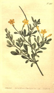 Figured are the trifoliate leaves and terminal yellow flowers with long tubes.  Curtis's Botanical Magazine t.461, 1799.