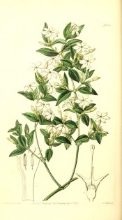 Figured are lance-shaped leaves and axillary panicles of white flowers.  Botanical Register f.2013, 1847.