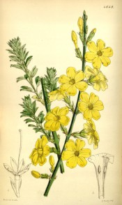 Figured is a bare stem covered in yellow flowers + shoot with small pinnate leaves.  Curtis's Botanical Magazine t.4649, 1852.