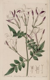 Figured are 7-pinnate leaves and panicles of white, red-flushed flowers.  Botanical Register f.91, 1816.
