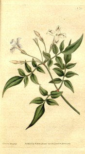 Figured are 5-foliate leaves and few-flowered raceme of white, star-like flowers.  Curtis's Botanical Magazine t.31, 1787.