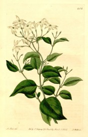 Figured are ovate, glossy, privet-like leaves and terminal racemes of small white flowers.  Botanical Register f.606, 1822.