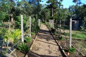 The photograph shows 2 rows of young espaliered fruit trees with a gravel path between.