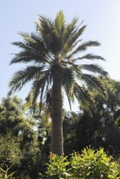 The photograph shows a mature Wine Palm in the Camden Park gardens.
