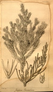 An uncoloured lithograph of juvenile and mature leaves and cones.  London Journal of Botany vol.2, p.143, 1848.