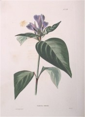 Illustrated are the ovate, pointed leaves and purple flowers.  Loddiges' Botanical Cabinet no.724, 1823.
