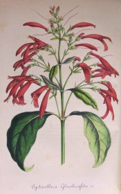 Figured are large glossy leaves and tubular crimson flowers in one-sided panicles.  Flore des Serres f.339, 1848.
