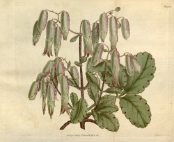 Illustrated are ovate, toothed leaves, and pendant, tubular,  greenish-white flowers.  Curtis's Botanical Magazine t.1409, 1811.