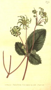 Illustrated is a strawberry-like leaf and daisy-like green flowers.  Curtis's Botanical Magazine t.775, 1804.