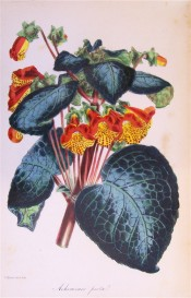 Figured are the large bluish leaves and red and yellow spotted flowers.  Paxton's Magazine of Botany p.199, 1845.