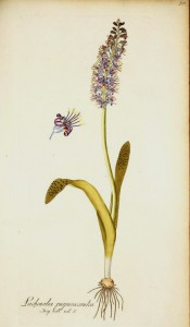 The full plant is illustrated, bulb, strap-like leaves and turquoise flowers.  Jacqin IPR pl.388, 1781-93