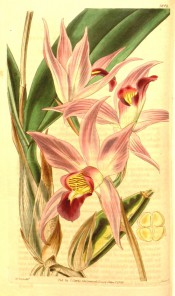Figured are lance-shaped leaf and pink flowers with darker, yellow-throated labellum.  Curtis's Botanical Magazine t.3804, 1840.