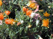 The photograph shows a fleshy-leaved succulent with bright orange flowers.