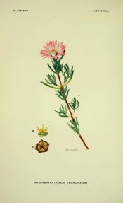 Figured are slender, fleshy leaves and a magenta daisy-like flower.  Addisonia vol.18 pl.590, 1933.