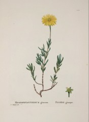 Figured is a succulent with somewhat flattened leaves and large, sulphur-yellow flowers.  Plantarum Historia Succ. pl.128, 1804.