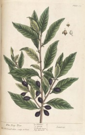 Figured are lance-shaped, glossy leaves, tiny axillary flowers and black berries.  Blackwell pl.175, 1737.