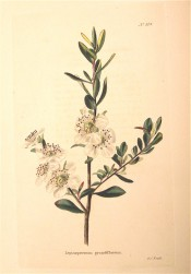 Figured are small ovate leaves and white flowers with prominent stamens.  Loddiges Botanical Cabinet no.514, 1821.
