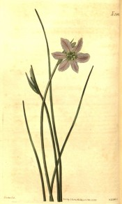Depicted is a grass-like plant with mauve 6-petalled flower.  Curtis's Botanical Magazine t.2382, 1823.