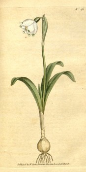 Depicted is a single white, cup-shaped flower with green spots, with bulb and leaves.  Curtis's Botanical Magazine t.46, 1786.