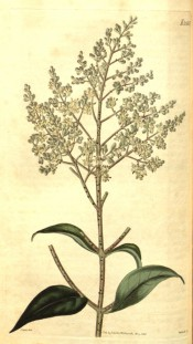Figured are large glossy leaves and terminal panicle of tiny white flowers.  Curtis's Botanical Magazine t.2565, 1825.