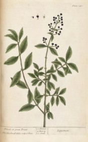 Figured are the lance-shaped leaves and round black berries.  Blackwell pl.140, 1737.