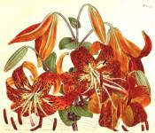 Figured are nodding, orange turk's-cap lilies with dark spots.  Curtis's Botanical Magazine t.1237, 1809.