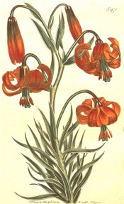 Shown are lance-shaped stem leaves and nodding, orange-scarlet turkscap flowers. Curtis's Botanical Magazine t.971, 1806.